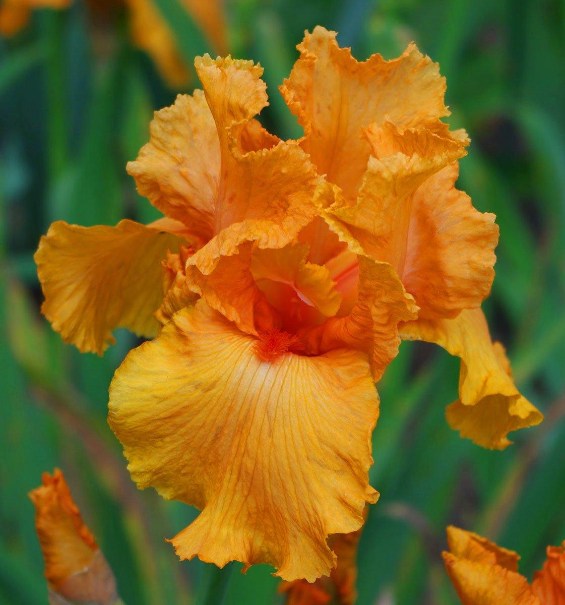 ra/íz bulbo//tub/érculo Iris germanica Orange//Iris germanica Naranja