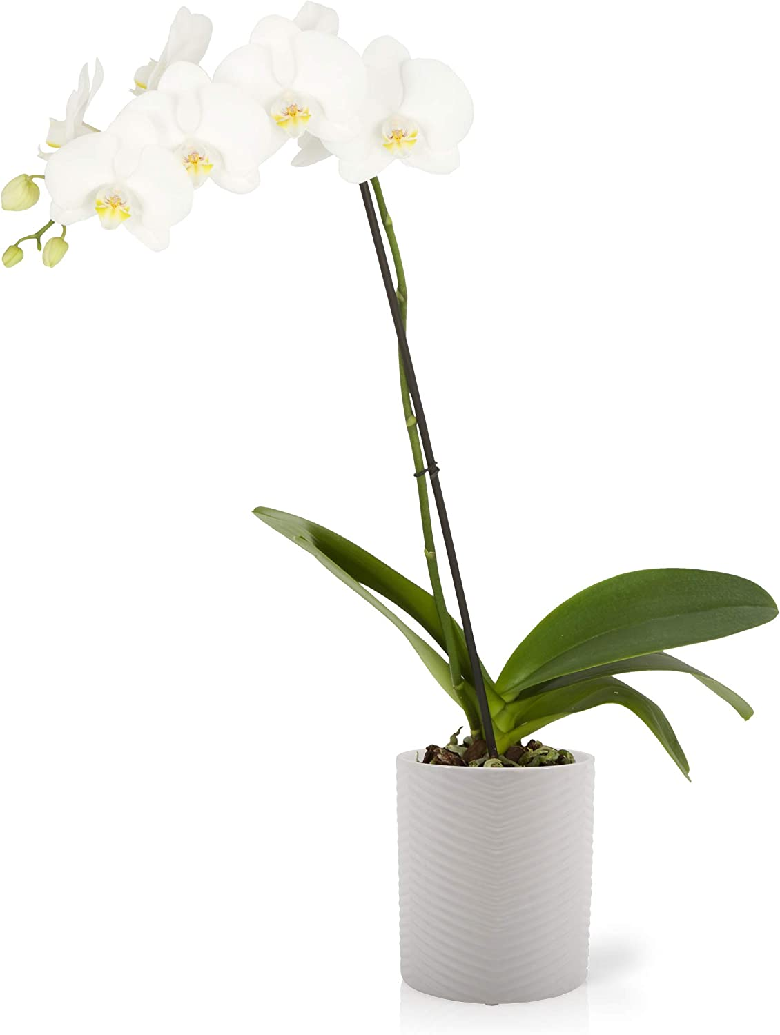 Amazon Com Color Orchids 1 Live Blooming Single Stem Phalaenopsis