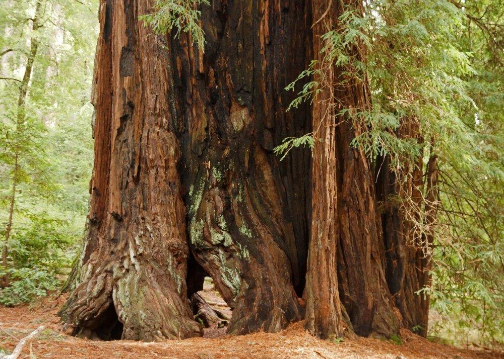 SAFLAX S/équoia sempervirens 50 graines Sequoia sempervirens