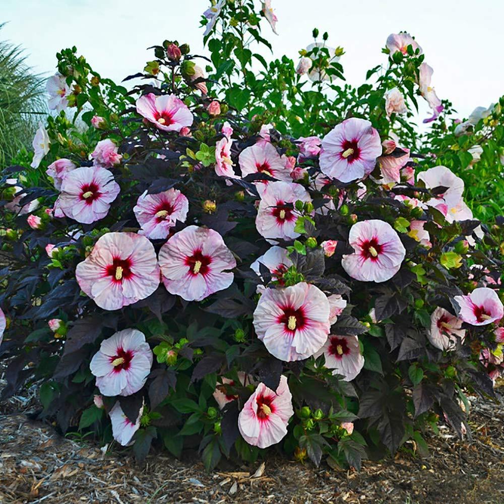 Rose Mallow Hibiscus moscheutos Perfect Storm in a 9cm Pot