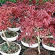 Brussel\'s Bonsai Japanese Red Maple