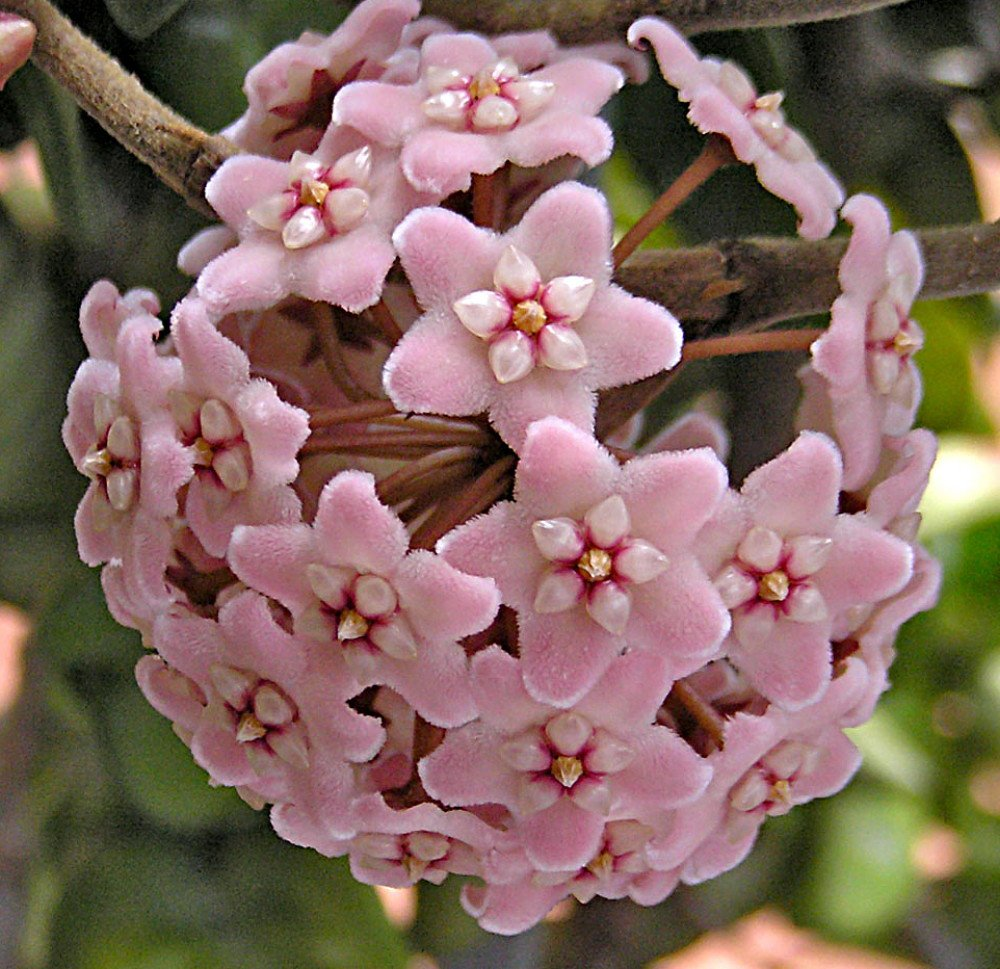 Amazon Hindu Indian Rope Plant Hoya Exoticeasy 4 Pot
