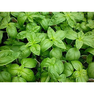Lumos80 1/2 oz Sweet Basil Seeds, Genovese, Bulk Herb Seed, Heirloom Non-GMO, About 8000 : Garden & Outdoor