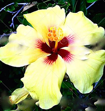 Amazoncom 11 11 100pcsbag Giant Hibiscus Flower Seeds Chinese