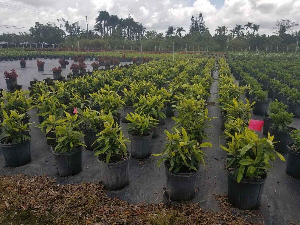 PlantVine Ixora casei 'Super King', Ixora duffii 'Super King' - Large - 8-10 Inch Pot (3 Gallon), Live Plant - 4 Pack by PlantVine (Image #1)