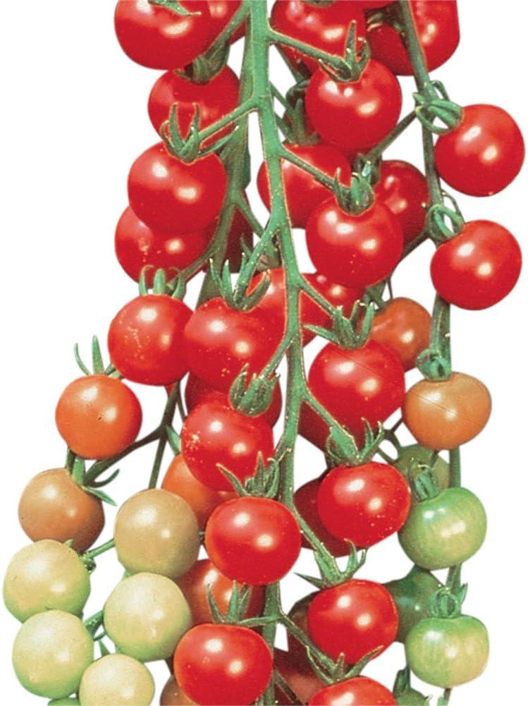 Amazon Com Burpee Super Sweet 100 Hybrid Cherry Tomato 50 Seeds Garden Outdoor