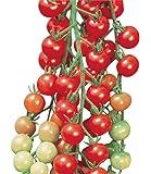 Burpee Super Sweet 100' Hybrid Cherry Tomato, 50 Seeds