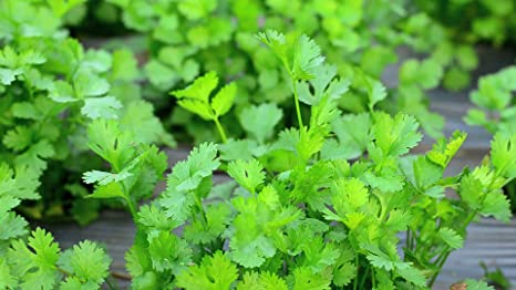 Creative Farmer Vegetable Seeds Chinese Parsley Seeds Coriander Seeds Herbal Use Plant Roof Top Gardening Home Garden Seeds Amazon In Garden Outdoors