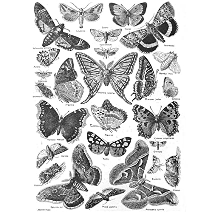 5b68d1182 Wee Blue Coo Scientific Illustration Butterfly Moth Black White Drawing Art  Print Poster Wall Decor 12X16