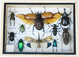 Real Mixed Beetle Cicada Insect Boxed Framed Taxidermy Display Wood Box For Collectibles
