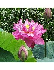 TOPmountain Graines de Fleurs de Lotus 40 pcs Rares Belles graines de Couleur mélangée Bol Lotus Pond Seeds pour la Cour de Jardin à la Maison