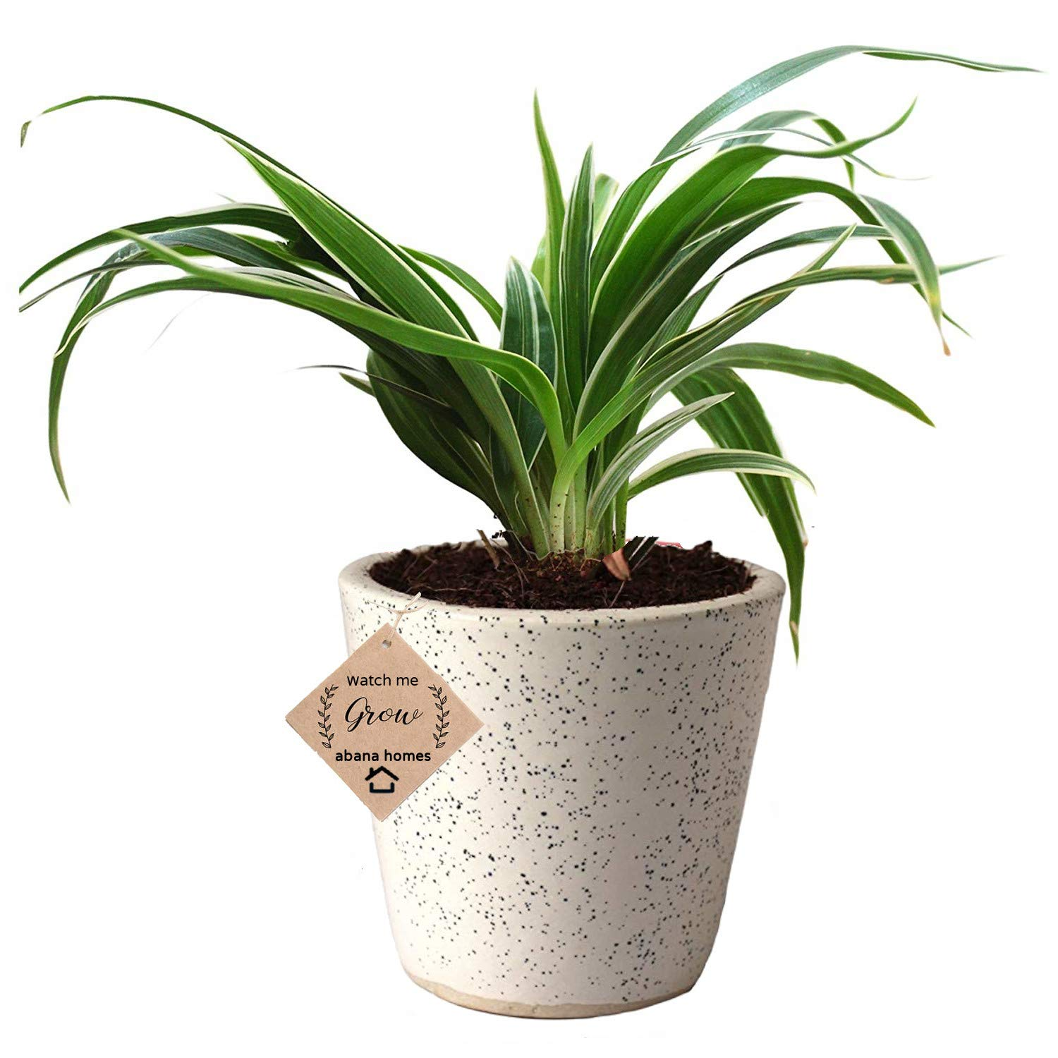 Amazon price history for Abana Homes Air Purifying Spider Plant in Ceramic Pot