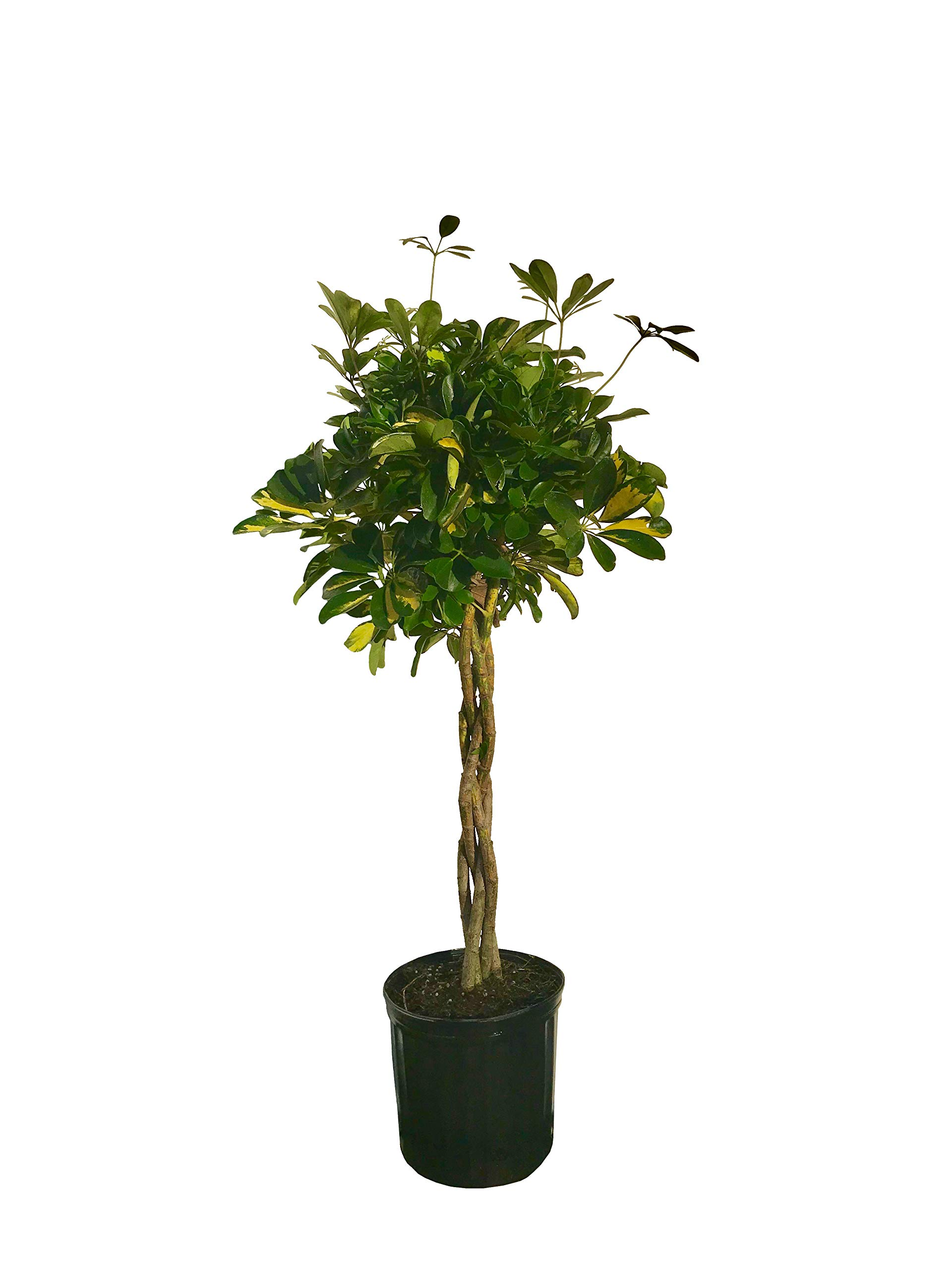 Umbrella Tree - 'Gold Capella' Live Braided Schefflera Arboricola - Florist Quality - Beautiful Indoor Tree - 3 Feet Tall by Florida Foliage