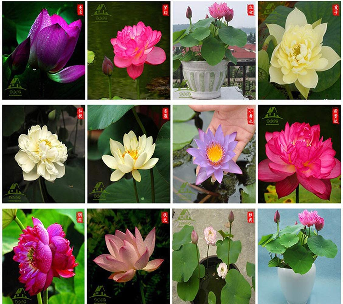 Bonsai Lotus Seeds,Water Lily Flower Plant,20PCS Finest Viable Aquatic Water Features Seeds,Home Garden Yard Decor (Mixed Color)