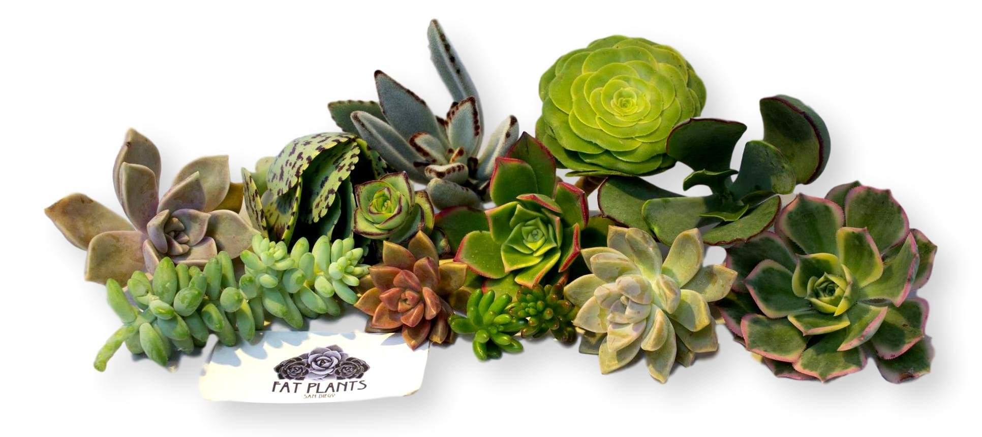 Fat Plants San Diego Ten Gorgeous Succulent Cuttings indoor