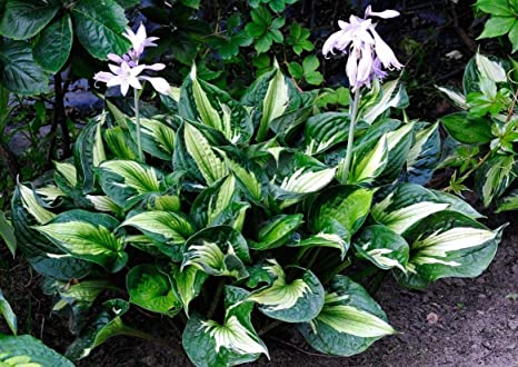 Amazoncom Whirlwind Hosta Variegated Plantain Lily Healthy