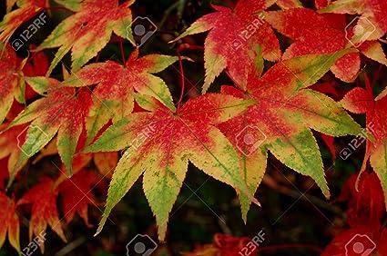 Amazoncom Osakazuki Japanese Maple 2 Year Graft Tree Plants