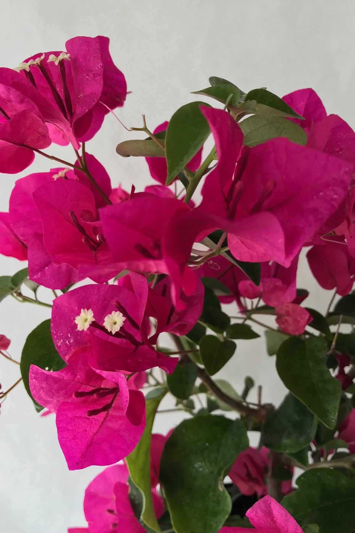 Barbara Karst Red, Bougainvillea Plant (flowers, hanging basket, bush, trellis, patio tree, vine) (5 Gal Trellis)