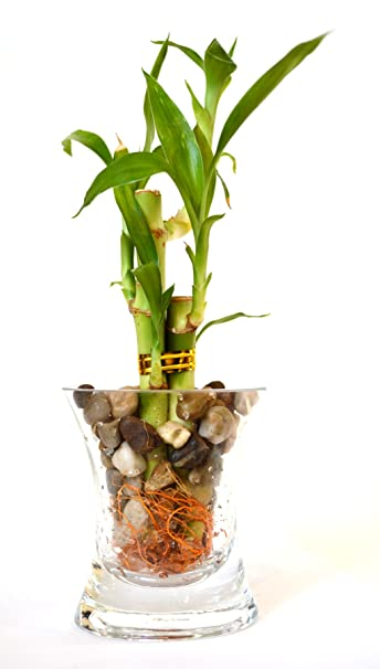9GreenBox   Lucky Bamboo   Glass Vase And Pebbles