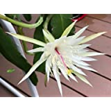 Epidendrum porpax orchid Wow Limited Blooming size Species orchid