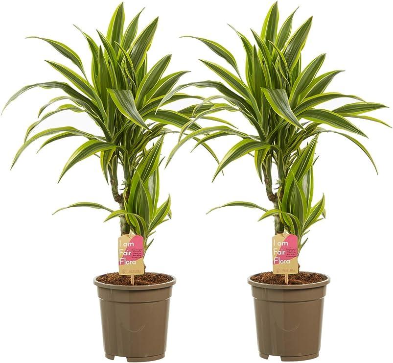 Plantas de interior – 2 × Árbol dragón – Altura: 70 cm, 2 brotes ...