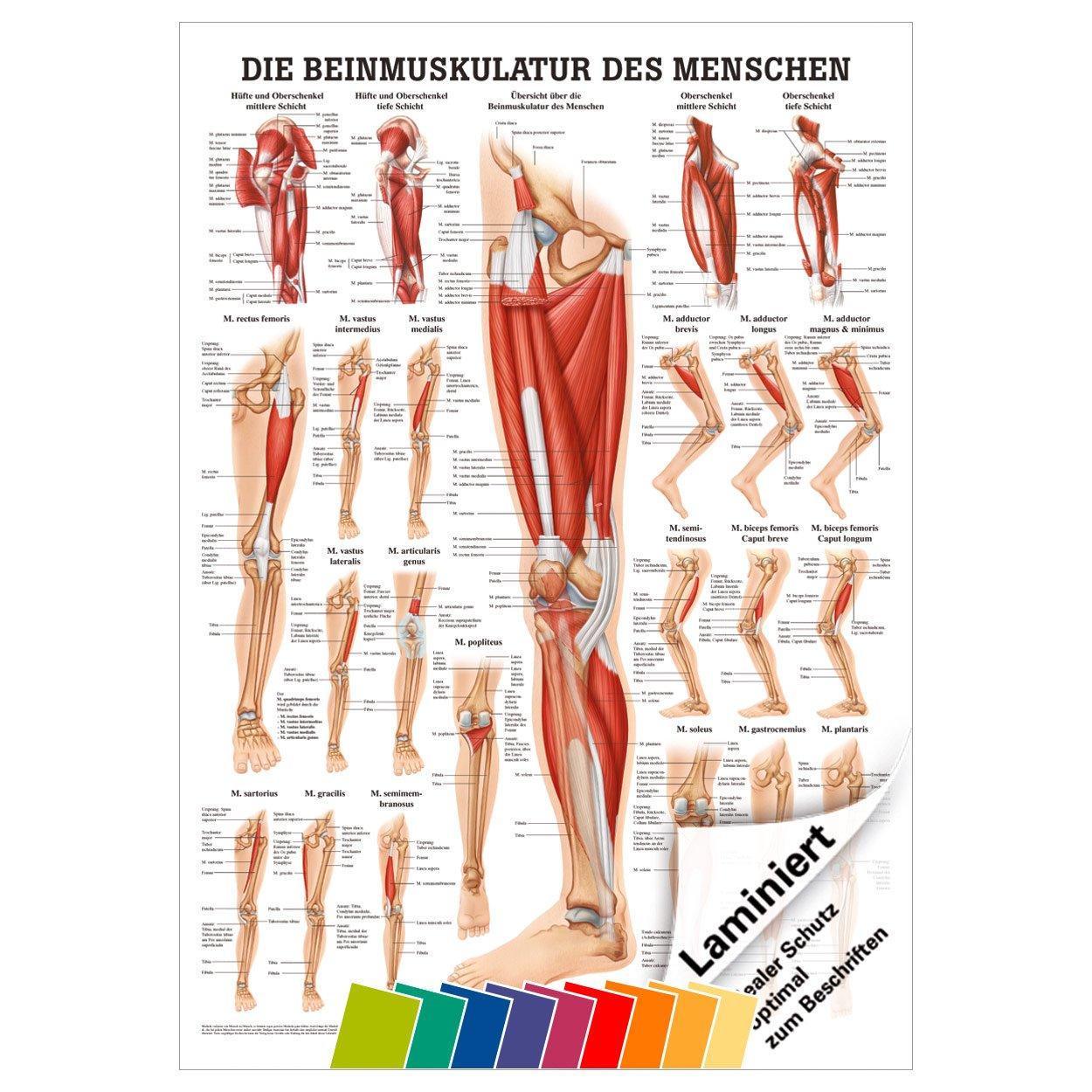 Großartig Anatomie Des Gesäß Und Hüfte Galerie - Physiologie Von ...