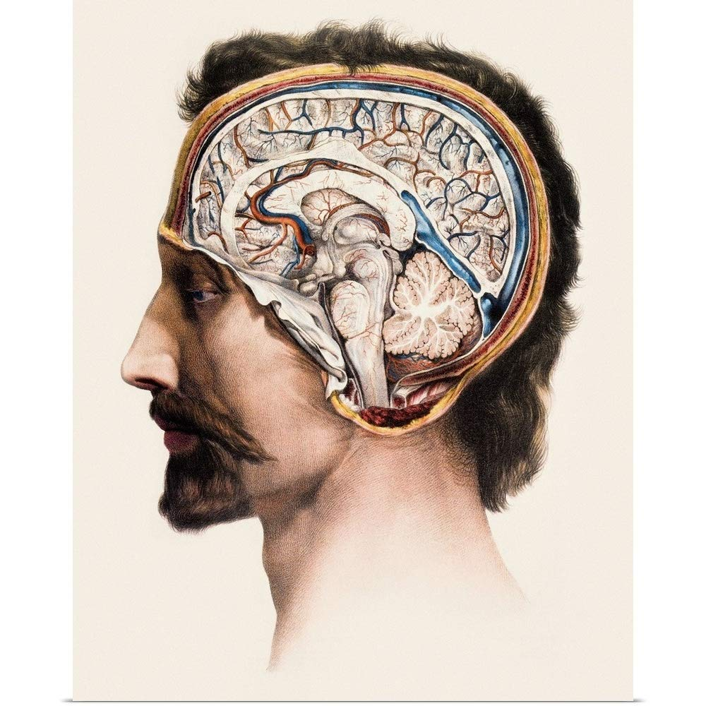 GREATBIGCANVAS Poster Print Entitled Brain Anatomy by Mehau Kulyk 29''x36''
