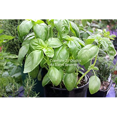 Toyensnow - Italian Large Leaf Basil - Non GMO Aromatic Dark Green Herb Gardening (100 Seeds) : Garden & Outdoor