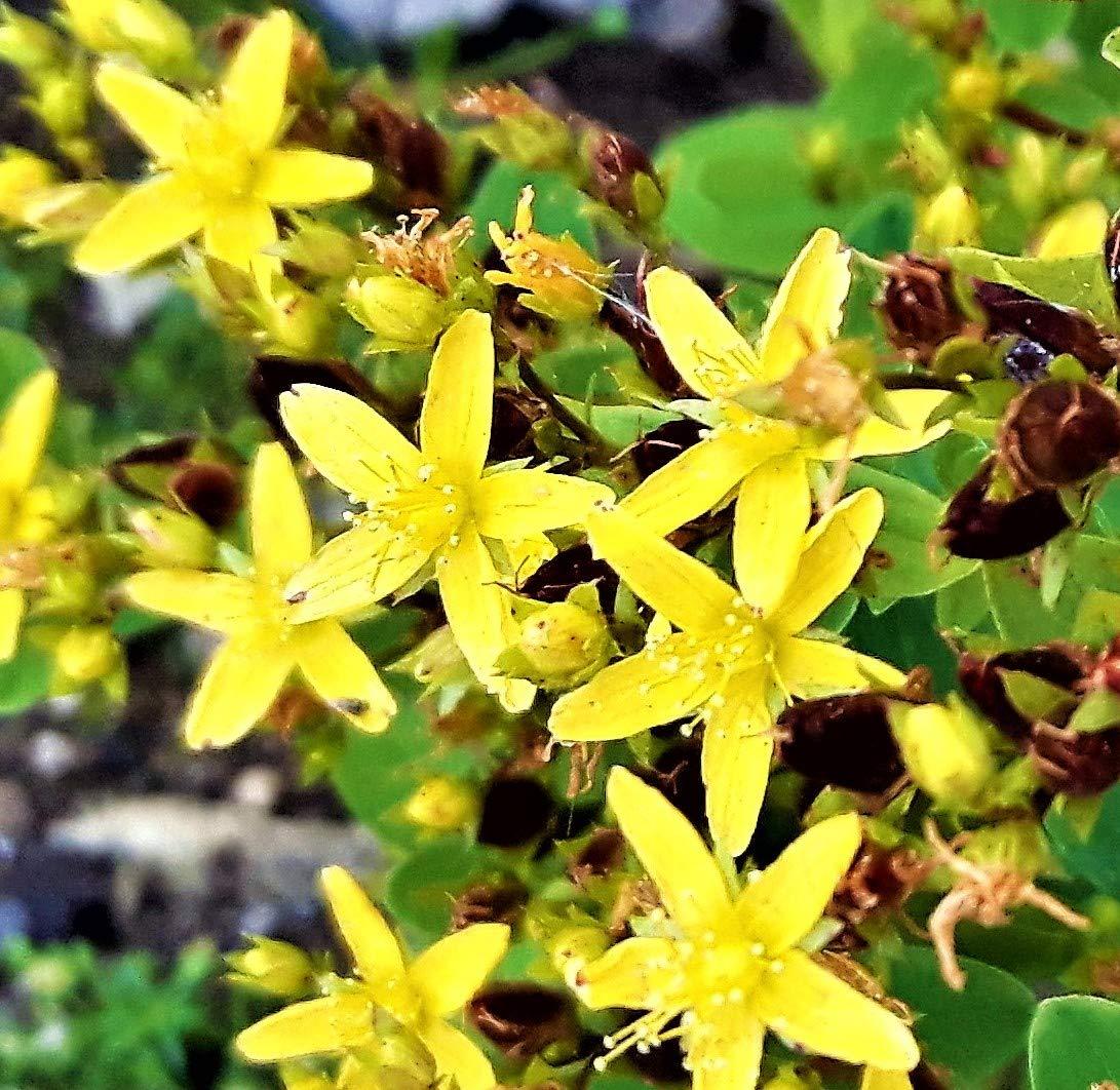 Square STEMMED Marsh ST Johns Wort Hypericum Small Alpine Wildflower in Pot CORNWALLPLANTS