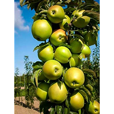 1 Live Plant Apple EIN Shemer Tree 3-4 ft Outdoor Gardening tksery : Garden & Outdoor