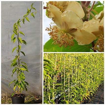 weiblich Rot /'Ken/'s Red/' Actinidia arguta Frost- Pflanze 100cm Mini Kiwi