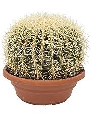 Cactus e pianta grassa da Botanicly – Cuscino della suocera – Altezza: 30 cm – Echinocactus grusonii