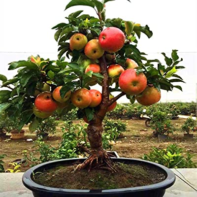 QiBest 20Pcs Organic Plants Fruit Miniature Tree Sweet Dwarf Seeds Flowers : Garden & Outdoor