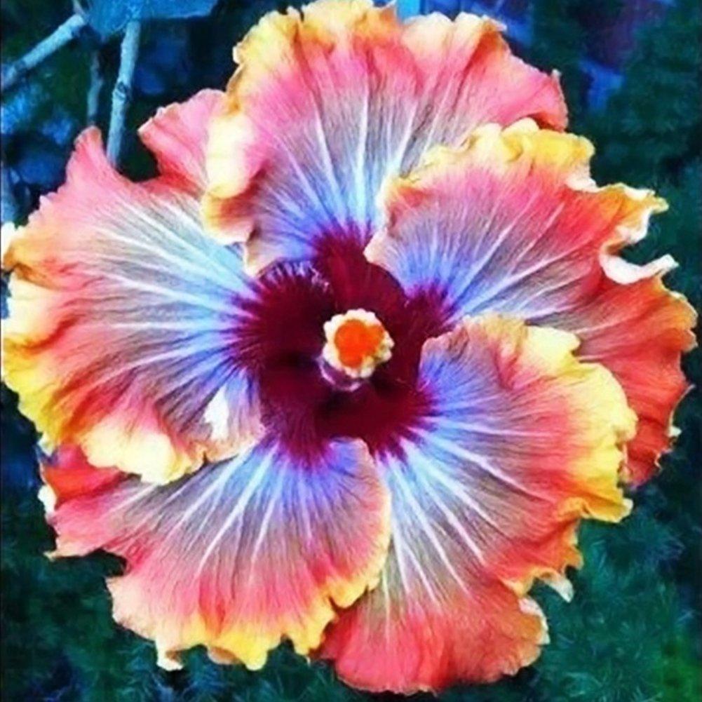 Amazon 100 Pcs Hibiscus Flower Seeds Chinese Rose Beautiful