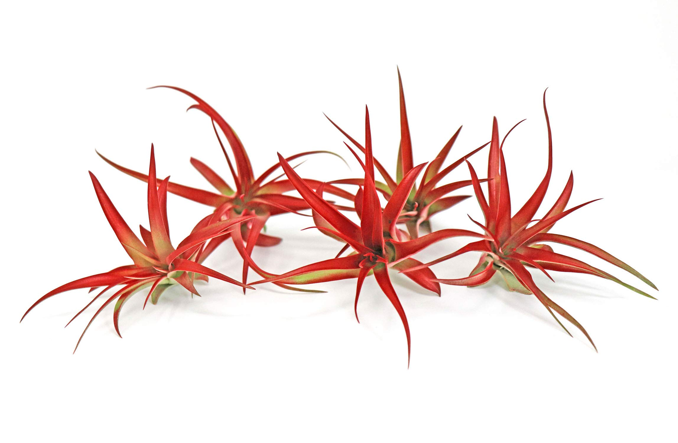 5 Live Air Plants | Bright Red Tillandsia Air Plant Pack | Colorful Indoor Plants | Real Houseplants | Easy Terrarium Decor Kit by Plants for Pets by Plants for Pets (Image #1)