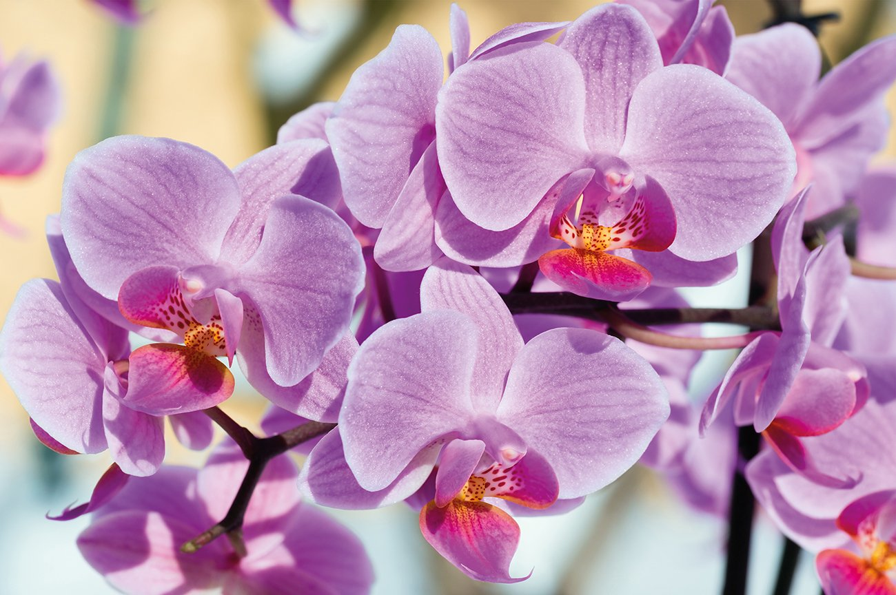Poster Flowers Mural Decoration Orchids Nature Phalaenopsis Blossoms Plant Wild Orchid Floristry Spring Relax Wellness Spa Wallposter Photoposter wall mural wall decor by GREAT ART 55 Inch x 39.4 Inch