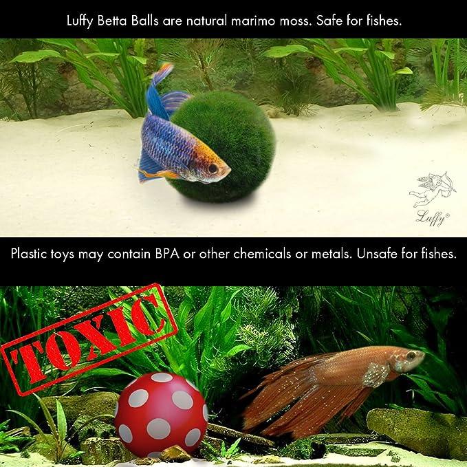 2 Luffy Betta Ball: Live round-shaped Marimo Planta para peces Betta. Natural y Acuario Seguros.: Amazon.es: Jardín