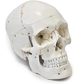 F2C 1:1 Life Size Replica Medical Anatomy Anatomical Adult Human ...