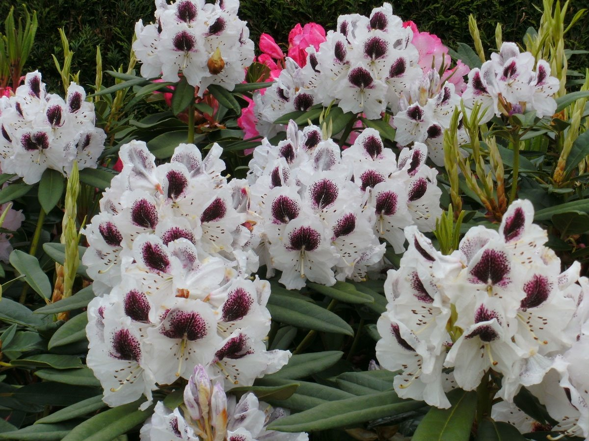 Rhododendron Sappho - Grows to 7 Feet - White Bloom with Purple Blotch (21-24'' Wide - Typically Seven Gallon)