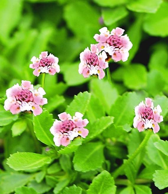 Baldur Garten Winterharter Bodendecker Lippia Summer Pearls Rosa 12