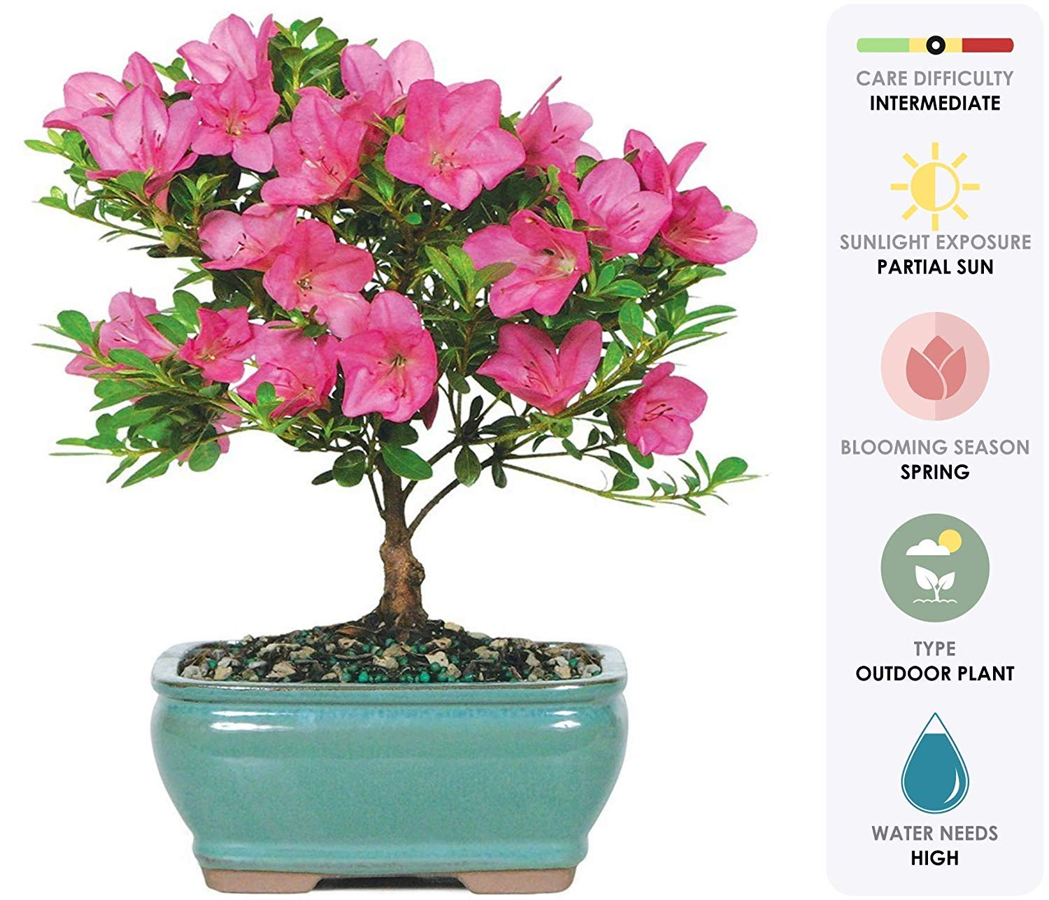 Brussel's Bonsai Live Satsuki Azalea Outdoor Bonsai Tree-5 Years Old 6'' to 8'' Tall with Decorative Container, Small,