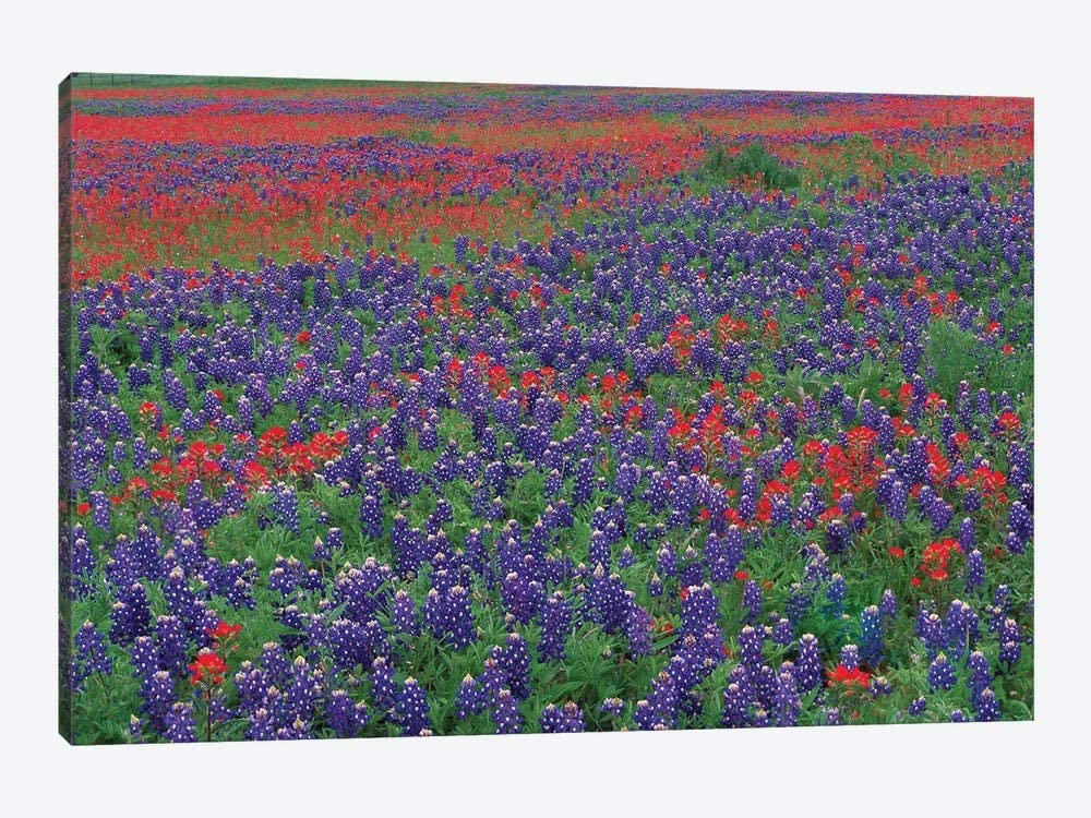 Sand Bluebonnet And Paintbrush Flowers, Hill Country, Texas I Frame Wall Art Canvas Paingting Home Decor For Living Room,Bedroom