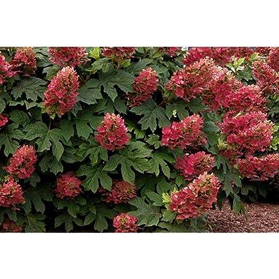 Ruby Slippers Oakleaf Hydrangea Shrub Plant BGV05 : Garden & Outdoor