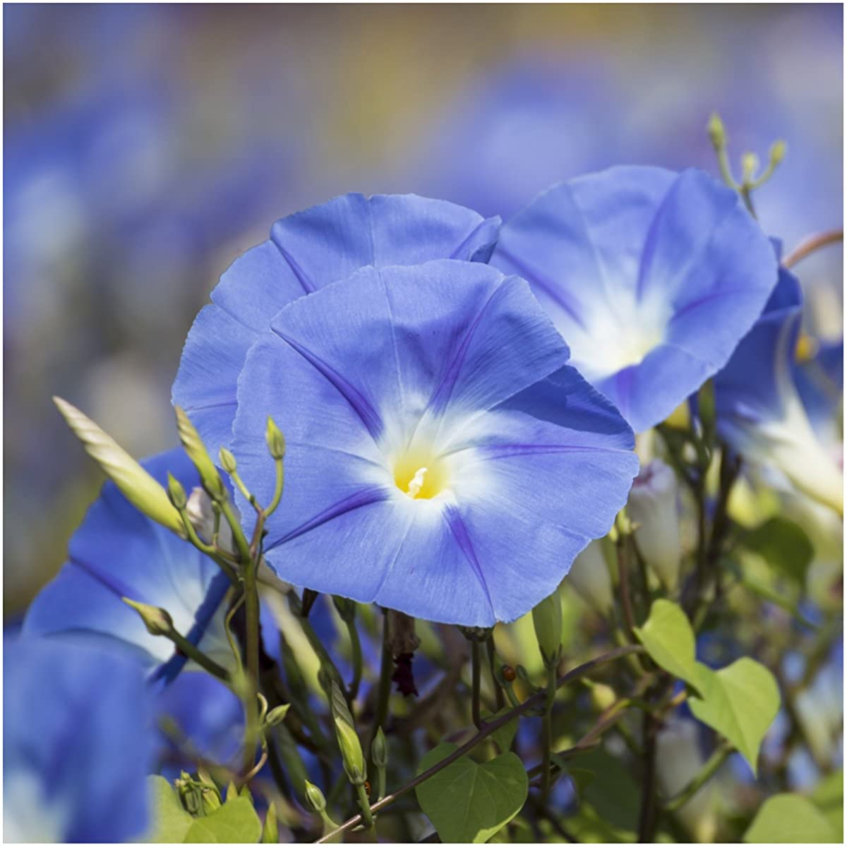 Package of 1,000 Seeds, Heavenly Blue Morning Glory (Ipomoea tricolor) Untreated, Non-GMO Seeds by Seed Needs