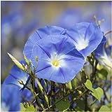 Seed Needs, Heavenly Blue Morning Glory