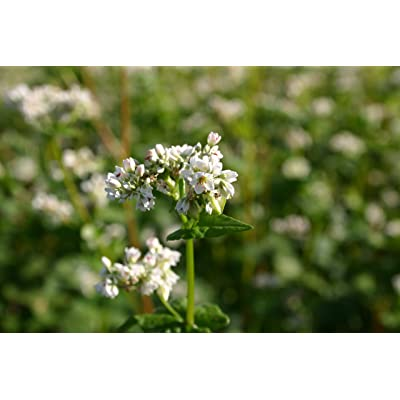 50 Pound Bag of Buckwheat (Seeds) : Garden & Outdoor