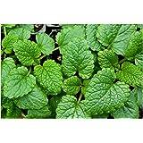 Premier Seeds Direct HRB17 Herb Lemon Balm Melissa Officinalis Seeds (Pack of 2000)
