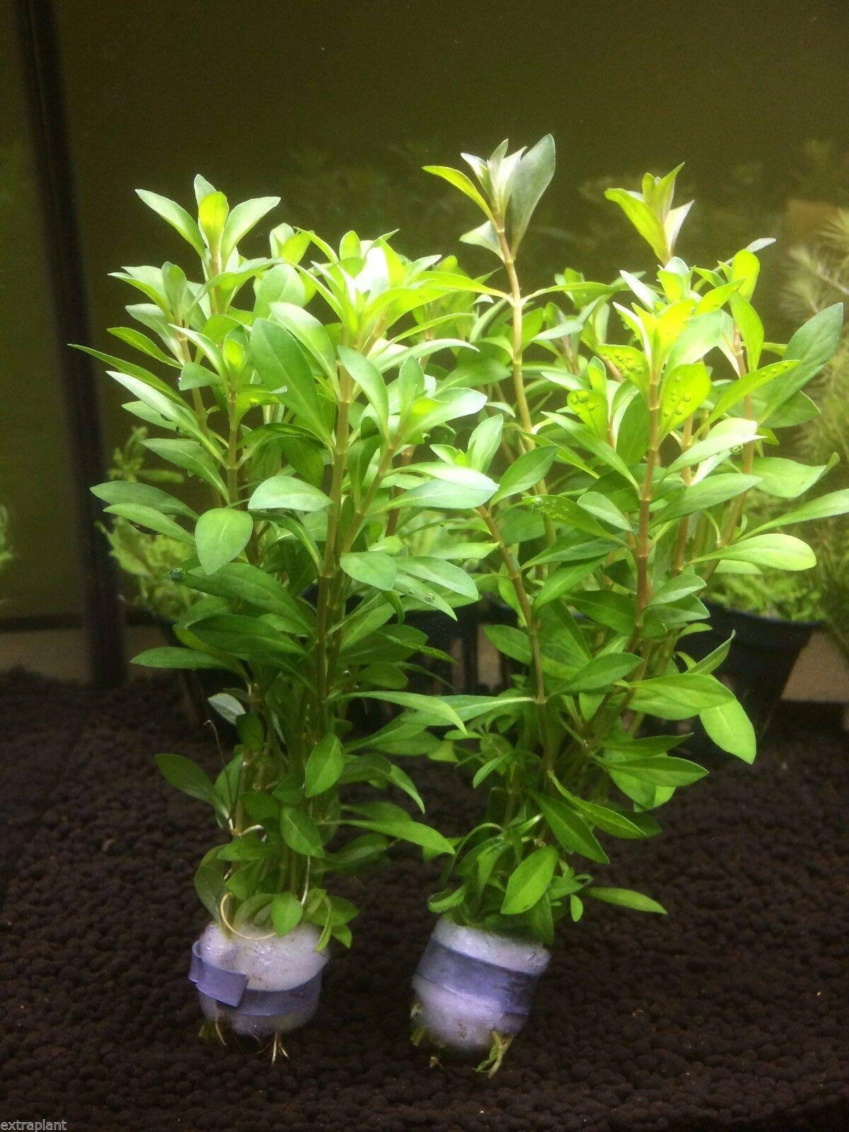 3X Ludwigia Arcuata Bunch Repens Needle Leaf Live Fresh Aquarium Plants Factory by SS0156