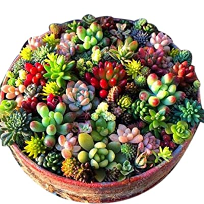 HOTUEEN 100 Pcs Mixed Succulent Anti-Radiation Fleshy Seeds Potted Flower Cacti & Succulents : Garden & Outdoor