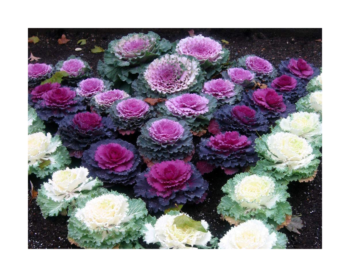 12 Brassica Nagoya Red/White/Rose Labelled Mix Ornamental Kale Mini Plug Plants by Plug Plants Express Limited